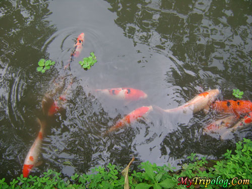 Koi Pond Quezon City Of La Mesa Eco Park Forest In The City Philippines Travel