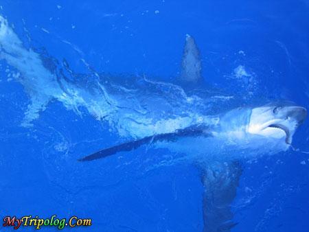 thresher shark,malapascua island,cebu,philippines,underwater
