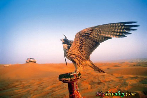 falcon in dubai desert,falcon,desert,dubai,uae,animal photo