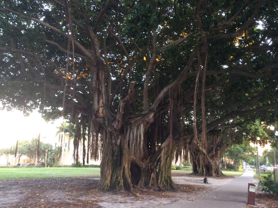 beautiful interesting trees in florida